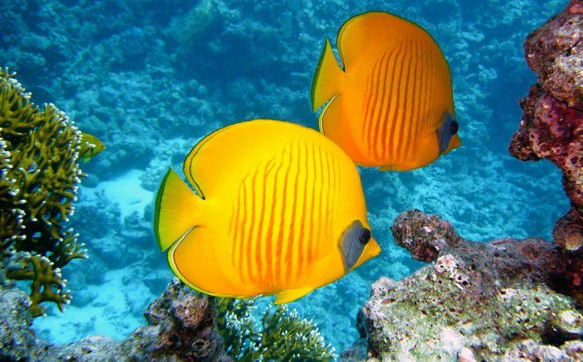 Gelber Zitronenfalterfisch